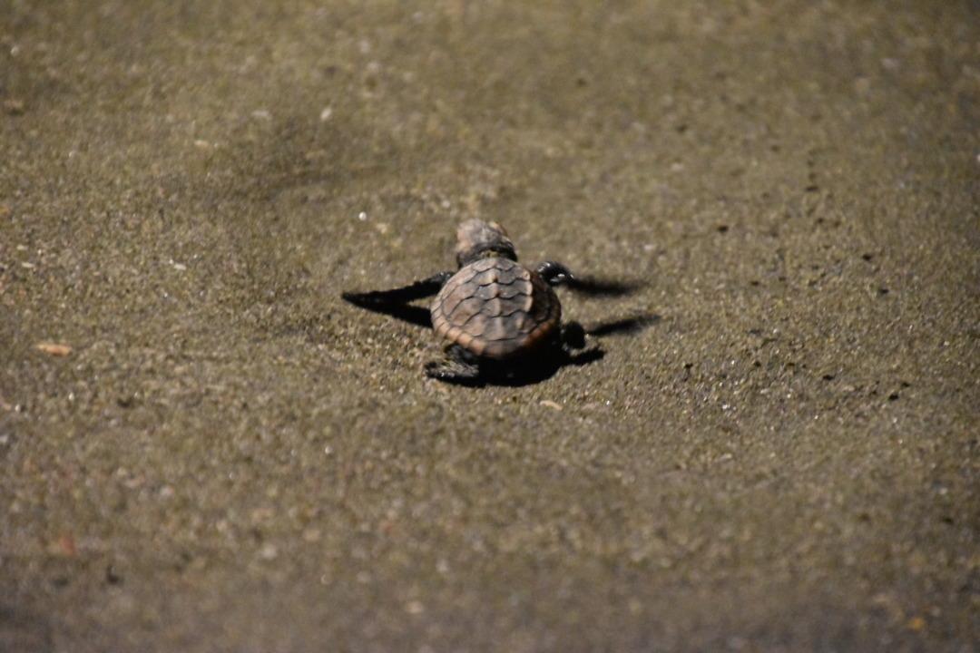 アカウミガメの孵化と日向市アカウミガメ研究会について