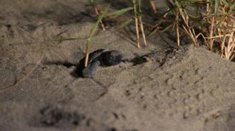 アカウミガメの孵化と、日向市アカウミガメ研究会について