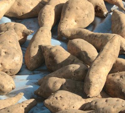 焼酎に使われるサツマイモの代表格「黄金千貫(コガネセンガン)」について