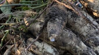 焼酎の未来を変えるかもしれない「サツマイモ基腐病」について